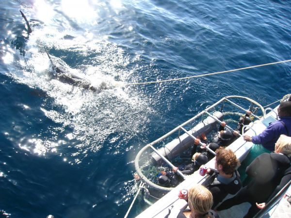 IMG_4563-gansbaai-cage-shark-diving.JPG