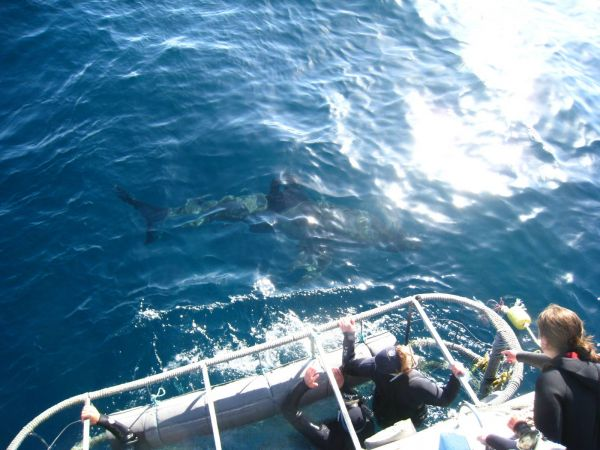 IMG_4577-gansbaai-cage-shark-diving.JPG