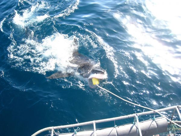 IMG_4609-gansbaai-cage-shark-diving.JPG