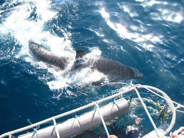 IMG_4611-gansbaai-cage-shark-diving.JPG