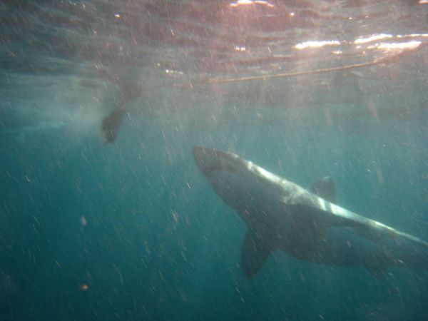 IMG_4624-gansbaai-cage-shark-diving.JPG