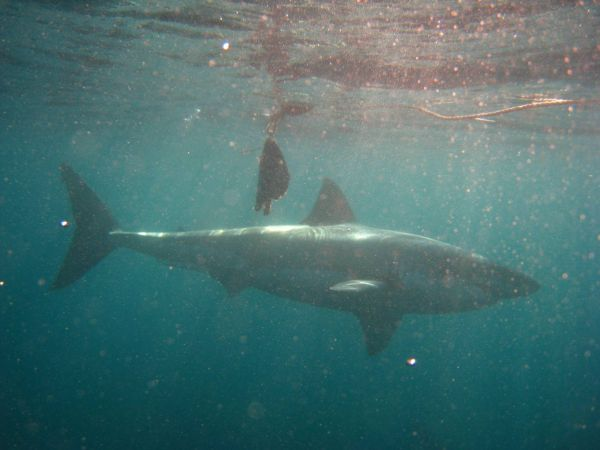 IMG_4632-gansbaai-cage-shark-diving.JPG