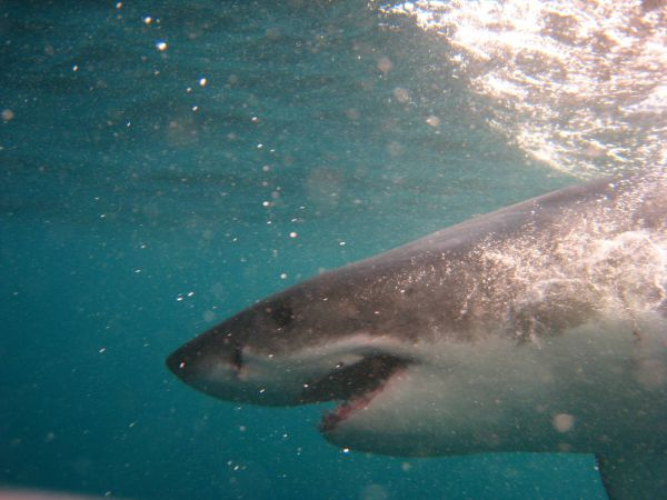 IMG_4634-gansbaai-cage-shark-diving.JPG
