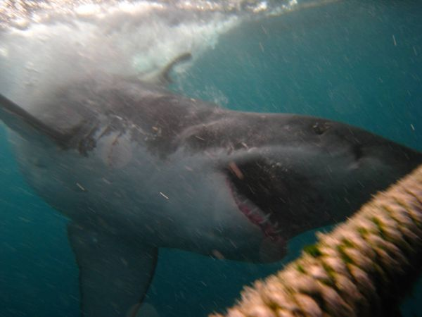 IMG_4651-gansbaai-cage-shark-diving.JPG